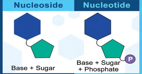 What is a nucleotide