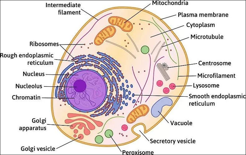 Are Animal Cells are Eukaryotic