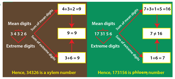 Xylem and Phloem Number in Java