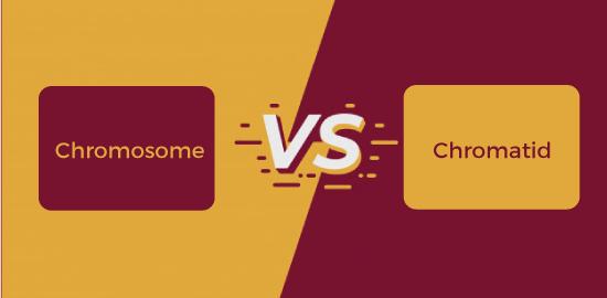 Chromosome vs Chromatid