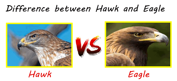 Hawk vs Eagle