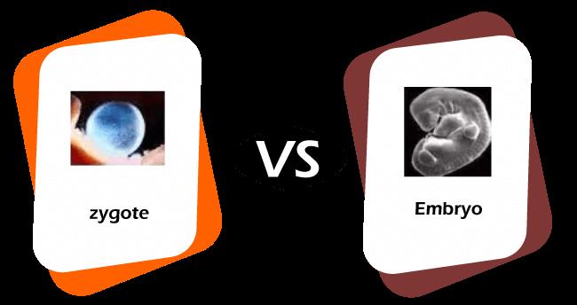 Zygote vs Embryo