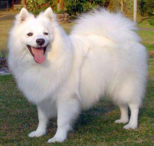 Dog Breeds in India